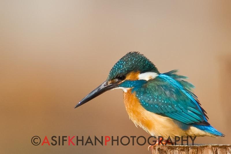Common Kingfisher (Alcedo atthis) [普通翠鸟 pǔtōng cuì-niǎo, 'common cui bird'] at Nanhui, Shanghai, China.