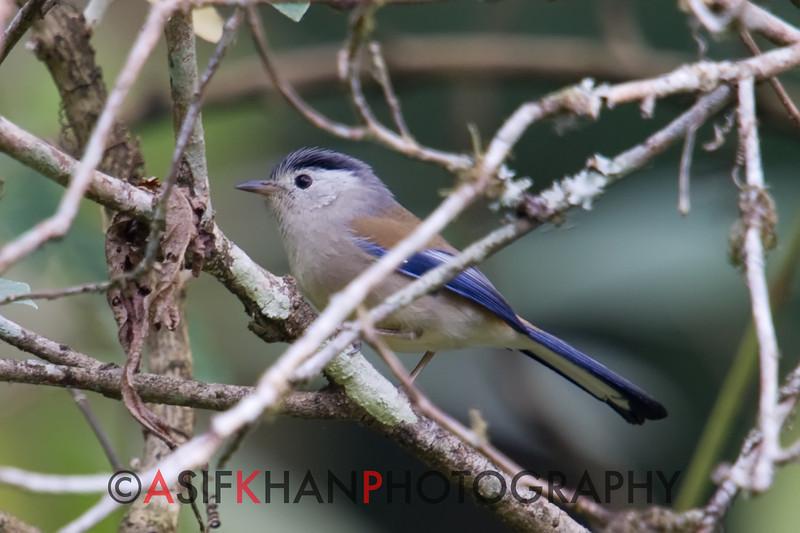 Blue Winged Minla (Minla cyanouroptera) [蓝翅希鹛 lán-chì xī-méi, 'blue-winged xi babbler'] at Nanjingli Ridge, Ruili, Yunnan, China