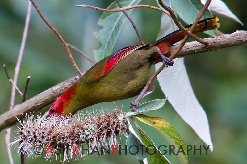 Red Faced Liocichla (Liocichla phoenicea) [红翅薮鹛 hóng-chì sǒu-méi, 'red-winged marsh babbler'] at Nanjingli Ridge, Ruili, Yunnan, China