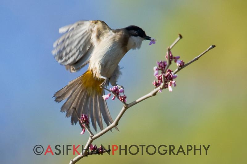 Brown-Breasted Bulbul (Pycnonotus xanthorrhous xanthorrhous) [黄臀鹎 huáng-tún bēi, 'yellow-rumped bulbul'] at Xishan, Kunming, Yunnan, China