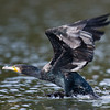Great Cormorant (Phalacrocorax carbo) [普通鸬鹚 pǔtōng lúcí, 'common cormorant'] taking off at Yuanyang Lake ( Datangwu Resorvior), Wuyuan, China.