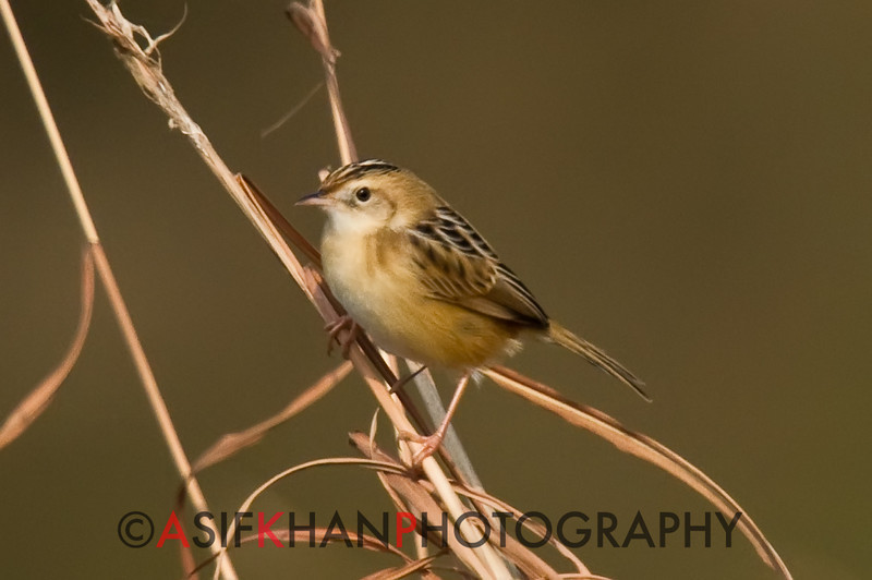 Zitting Cisticola (Cisticola juncidis) [棕扇尾莺 zōng shàn-wěi-yīng, 'reddish-brown fan-tail warbler'] at Poyang Wetland, Wucheng, Jiangxi, China.