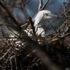 Little Egret (Egretta garzetta) [白鹭 bái-lù, 'white heron'] near Happy Island, Hebei, China