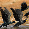 Great Cormorants (Phalacrocorax carbo) [普通鸬鹚 pǔtōng lúcí, 'common cormorant'] taking off at Yuanyang Lake ( Datangwu Resorvior), Wuyuan, China.
