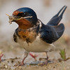 Barn Swallow (Hirundo Rustica) [洋燕 yáng yàn, 'ocean swallow'] at Happy Island, Hebei, China