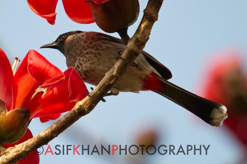 Red-Vented Bulbul (Pycnonotus cafer) [黑喉红臀鹎 hēi-hóu hóng-tún bēi, 'black-throated red-bottomed bulbul'] at Sheng Tai Yuan, Ruili, Yunnan, China