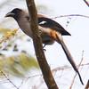 Grey Treepie (Dendrocitta formosae) [灰树鹊 huī shù-què, 'grey tree magpie'] at Sheng Tai Yuan, Ruili, Yunnan, China