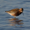 Curlew Sandpiper (Calidris ferruginea) [弯嘴滨鹬 wān-zuǐ bīn-yù, 'curved bill shore yu'] near Happy Island, Hebei, China