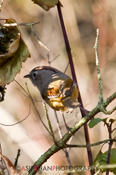 Spectacled Fulvetta (Alcippe ruficapilla) [棕头雀鹛 zōng-tóu què-méi, 'reddish-brown-headed sparrow/finch babbler'] at Xishan, Kunming, Yunnan, China