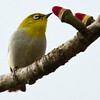 Oriental White-Eye (Zosterops palpebrosus) [灰腹绣眼鸟 huī-fù xiù-yǎn-niǎo, 'grey-bellied embroidered eye bird'] at Sheng Tai Yuan, Ruili, Yunnan, China