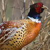 Ring Necked Pheasant (Phasianus colchicus) [环颈雉 huán-jǐng zhì, 'ring-necked pheasant'] at Happy Island, Hebei, China