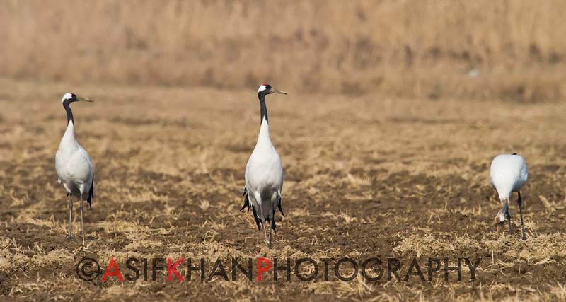 Red Crowned Crane (Crus japonensis) [丹顶鹤 dān-dǐng hè, 'red-capped crane'] at Xinyanggang / Yancheng, Jiangsu, China.