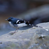 Slaty-Backed Forktail (Enicurus schistaceus) [灰背燕尾 huī-bèi yàn-wěi, 'grey-backed swallow-tail'] at Moli, Ruili, Yunnan, China