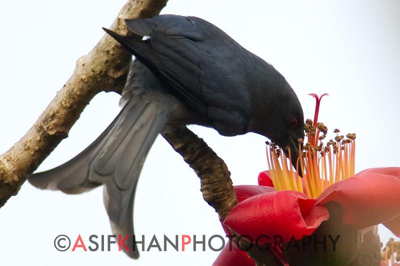 Ashy Drongo (Dicrurus leucophaeus) [灰卷尾 huī juǎn-wěi, 'grey curl-tail'] at Sheng Tai Yuan, Ruili, Yunnan, China