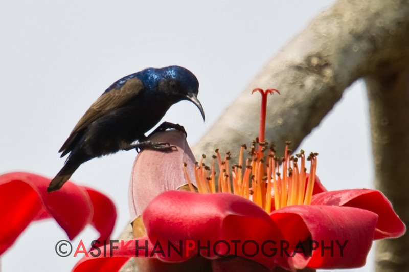 Purple Sunbird (Nectarinia asiatica) [紫花蜜鸟 zǐ huā-mì-niǎo, 'purple nectar bird'] at Sheng Tai Yuan, Ruili, Yunnan, China