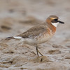 Lesser Sand Plover or Mongolian Plover (Charadrius mongolus) [蒙古沙鸻 Měnggǔ shā héng, 'Mongolian sand plover'] at Beidaihe, Hebei, China