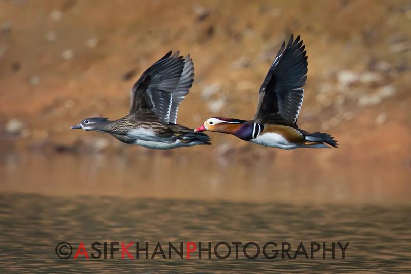 Mandarin Ducks (Aix galericulata) [鸳鸯 yuān-yang, 'yuan-yang'] in flight at Yuanyang Lake ( Datangwu Resorvior), Wuyuan, China.