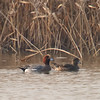 Eurasian Wigeon (Anas penelope) [赤颈鸭 chì-jǐng yā, 'red-necked duck'] at Nanhui, Shanghai, China.