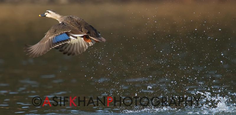 Spot-billed duck (Anas poecilorhyncha) [斑嘴鸭 bān-zuǐ yā, 'spot-billed duck'] taking off at Yuanyang Lake ( Datangwu Resorvior), Wuyuan, China.
