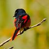 Short-Billed Minivet (Pericrocotus brevirostris) [短嘴山椒鸟 duǎn-zuǐ shān-jiāo-niǎo, 'short-billed prickly-ash bird'] at Moli, Ruili, Yunnan, China