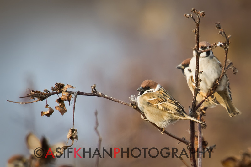 Eurasian Tree Sparrow (Passer montanus) [麻雀 má-què, 'sparrow'] at Nanhui, Shanghai, China.
