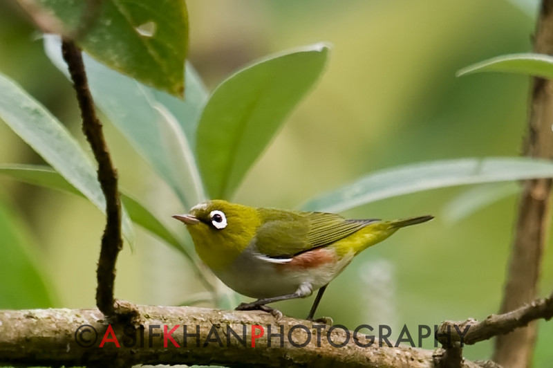 Chestnut-Flanked White-Eye (Zosterops erythropleurus) [红胁绣眼鸟 hóng-xié xiù-yǎn-niǎo, 'red-ribbed embroidered eye bird'] at Nanjingli Ridge, Ruili, Yunnan, China