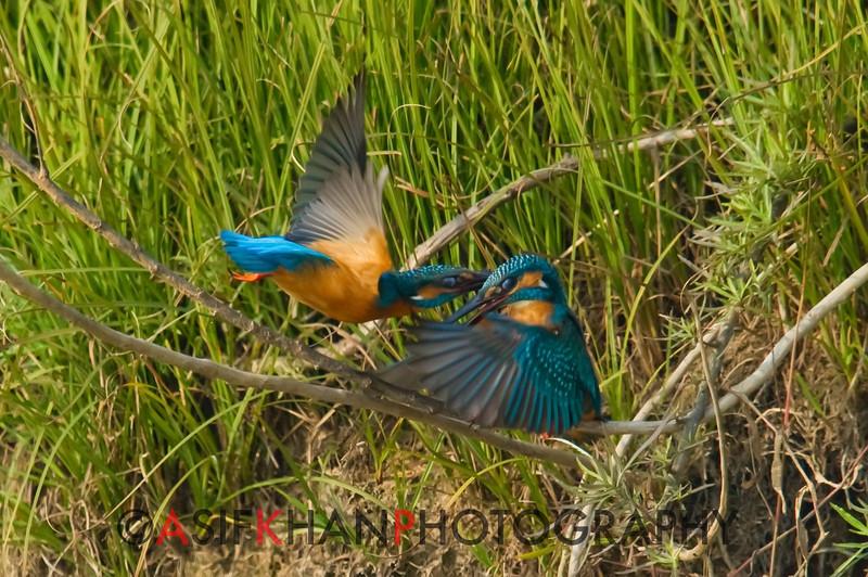Common Kingfisher (Alcedo atthis) [普通翠鸟 pǔtōng cuì-niǎo, 'common cui bird'] in perch conflict at Poyang Wetland, Wucheng, Jiangxi, China.