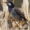 White Cheeked Starling (Sturnus cineraceus) [灰椋鸟 huī liáng-niǎo, 'grey starling'] at Beidaihe, Hebei, China