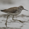 Marsh Sandpiper (Tringa stagnatilis) [泽鹬 zé yù, 'marsh yu'] near Happy Island, Hebei, China