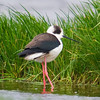 Black Winged Stilt (Himantopus himantopus) [黑翅长脚鹬 hēi-chì cháng-jiǎo yù, 'black-winged long-legged yu'] at San Jia Gang, Shanghai, China