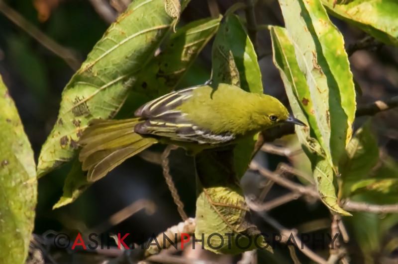 Common Iora (Aegithina tiphia) [黑翅雀鹎 hēi-chì què-bēi, 'black-winged sparrow-bulbul'] at Moli, Ruili, Yunnan, China