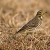 Buff Bellied Pipit (Anthus rubescens) [黄腹鹨 huáng-fù liù, 'yellow-bellied pipit'] at Poyang Wetland, Wucheng, Jiangxi, China.