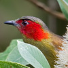 Red Faced Liocichla (Liocichla phoenicea) [红翅薮鹛 hóng-chì sǒu-méi, 'red-winged marsh babbler'] at Nanjingli Ridge, Ruili, Yunnan, China