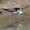 Black Winged Stilt (Himantopus himantopus) [黑翅长脚鹬 hēi-chì cháng-jiǎo yù, 'black-winged long-legged yu'] at Happy Island, Hebei, China