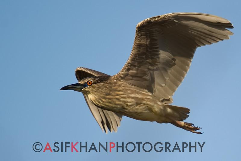 Black Crowned Night Heron (Nycticorax nycticorax) [夜鹭 yè lù, 'night heron'] near Happy Island, Hebei, China