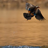 Mandarin Duck (Aix galericulata) [鸳鸯 yuān-yang, 'yuan-yang'] taking off at Yuanyang Lake ( Datangwu Resorvior), Wuyuan, China.