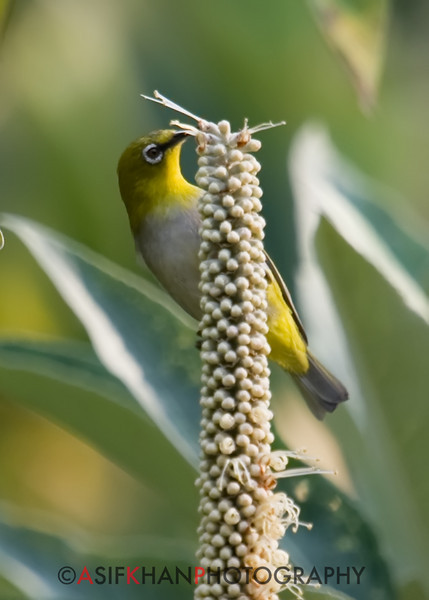 Oriental White-Eye (Zosterops palpebrosus) [灰腹绣眼鸟 huī-fù xiù-yǎn-niǎo, 'grey-bellied embroidered eye bird'] at Nanjingli Ridge, Ruili, Yunnan, China