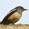 Oriental Magpie Robin (Copsychus saularis) [鹊鸲 què-qú, 'magpie robin'] at Sheng Tai Yuan, Ruili, Yunnan, China