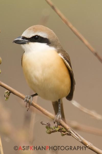 Brown Shrike (Lanius cristatus) [红尾伯劳 hóng-wěi bóláo, 'red-tailed shrike'] at Happy Island, Hebei, China