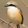 Brown Shrike (Lanius cristatus) [红尾伯劳 hóng-wěi bóláo, 'red-tailed shrike'] at Happy Island, Hebei, China