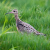 Little Curlew (Numenius minutus) [小杓鹬 xiǎo sháo-yù, 'small spoon yu'] at San Jia Gang, Shanghai, China