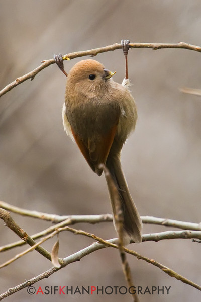 Vinous Throated Parrotbill (Paradoxornis webbianus) [棕头鸦雀 zōng-tóu yā-què, 'reddish-brown headed crow finch'] at Gong Qing Forest Park, Shanghai, China.