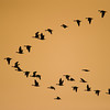 """The typical """"V"""" flight pattern as these geese head back to their roosting places at Poyang Wetland, Wucheng, Jiangxi, China."""