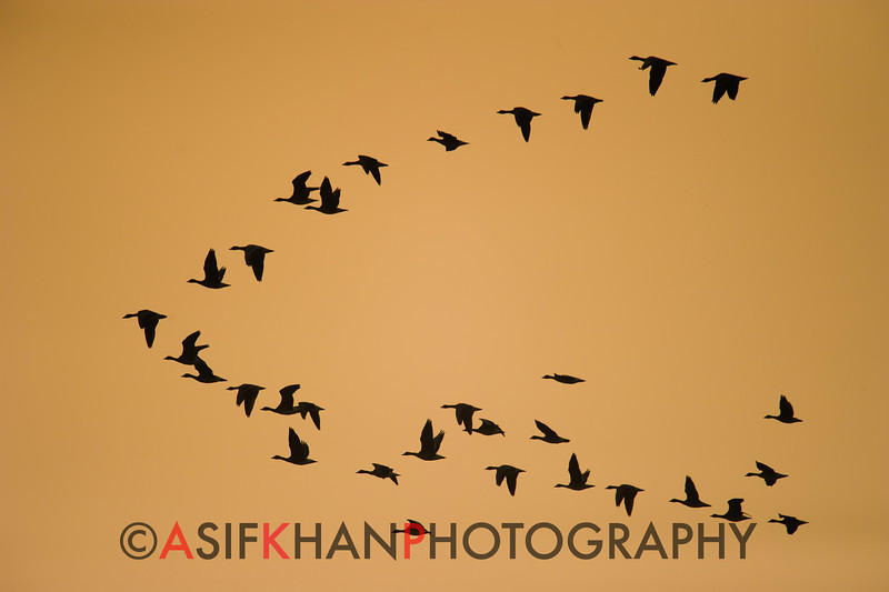 "The typical ""V"" flight pattern as these geese head back to their roosting places at Poyang Wetland, Wucheng, Jiangxi, China."