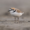 Kentish Plover (Charadrius alexandrinus) [环颈鸻 huán-jǐng héng, 'ring-necked plover'] at Beidaihe, Hebei, China