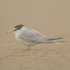 Little Tern (Sternula albifrons) [白额燕鸥 bái-é yàn-ōu, 'white forehead swallow-gull'] near Happy Island, Hebei, China