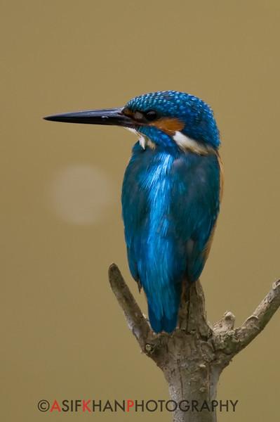 Common Kingfisher (Alcedo atthis) [普通翠鸟 pǔtōng cuì-niǎo, 'common cui bird']   at Sheng Tai Yuan, Ruili, Yunnan, China