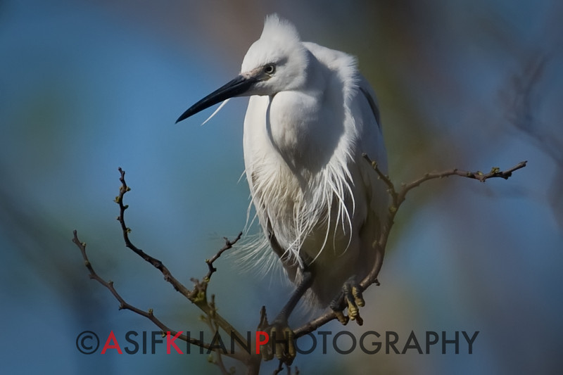 Little Egret (Egretta garzetta) [白鹭 bái-lù, 'white heron'] near Happy Island, Hebei, China