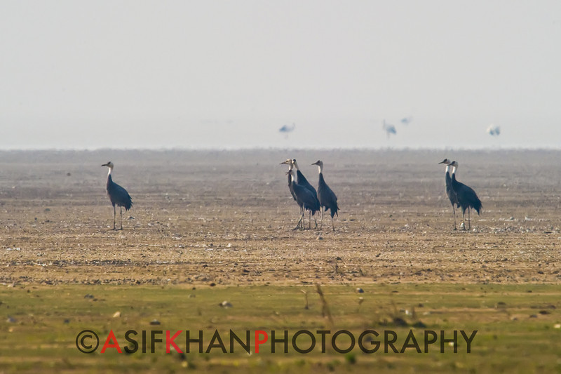 Hooded Crane (Crus monacha) [白头鹤 bái-tóu hè, 'white-headed crane'] at Poyang Wetland, Wucheng, Jiangxi, China.