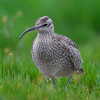 Whimbrel (Numenius phaeopus) [中杓鹬 zhōng sháo-yù, 'medium spoon yu'] at San Jia Gang, Shanghai, China